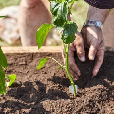 fg-garden-pepper-planting